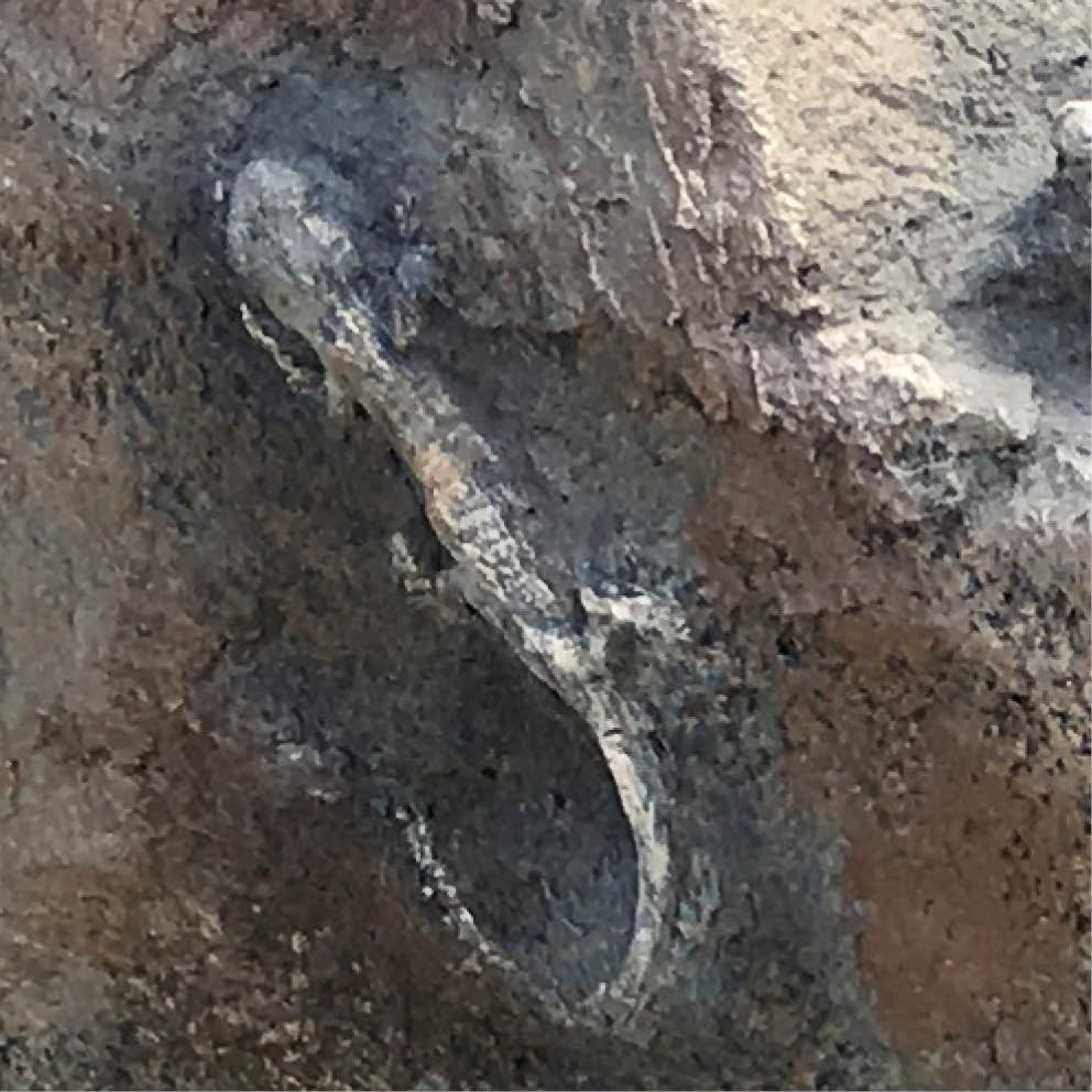 Artificial Rocks lizard fossil inlay close up