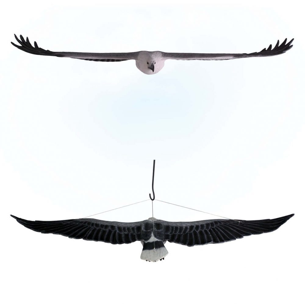 Birds Of Prey Eagle White Breasted Sea Eagle flying Front Rear View Product Image  V px px