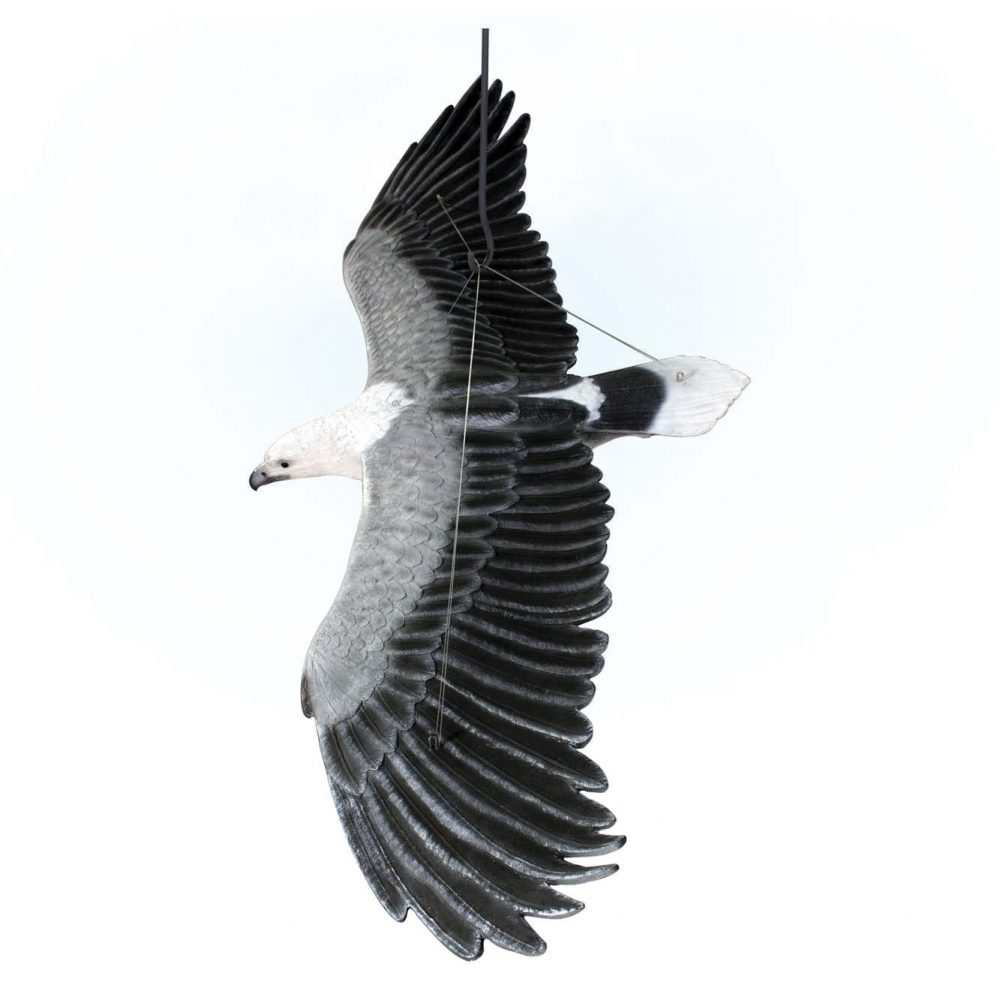 Birds Of Prey Eagle White Breasted Sea Eagle flying Top View Product Image  V px px