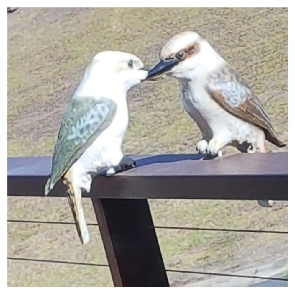 Kookaburra lifesize