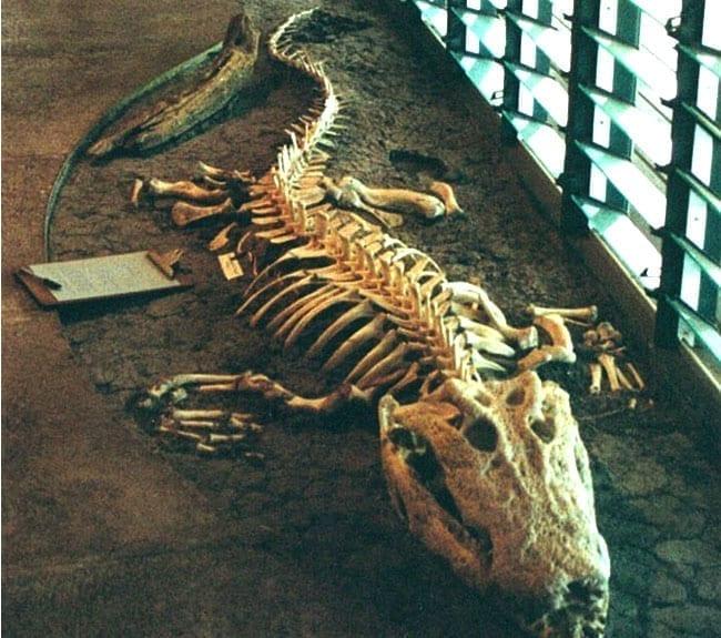 Crocodile Skeleton Tjapukai Interpretive Centre Kakadu National Park