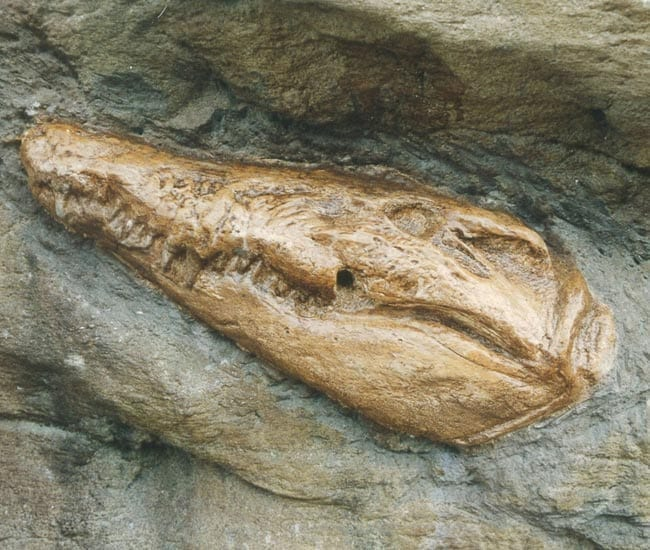Crocodile Head Fossil Taronga Zoo