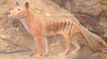 Currumbin Sanctuary Tasmanian Tiger on plinth