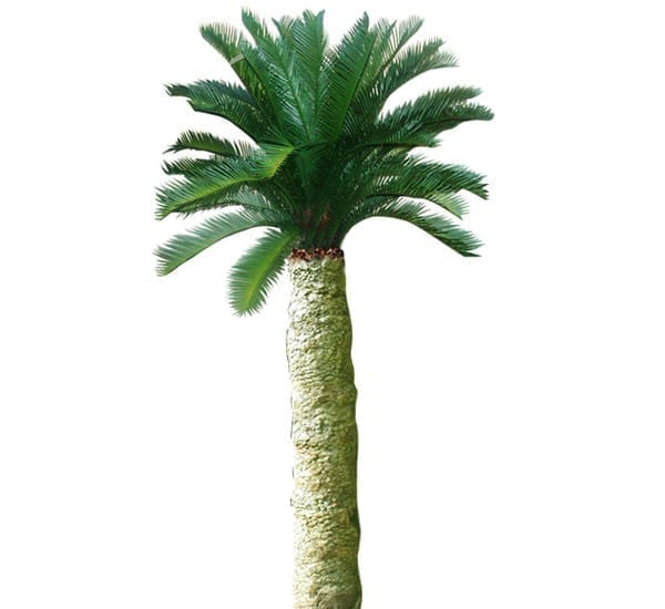 Cycad Palm Trunck  m With Crown