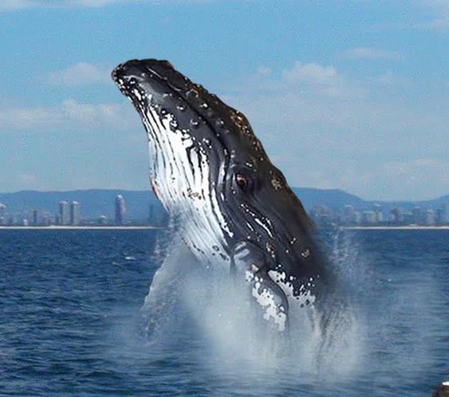 Fibreglass Humpback Whale Sculpture