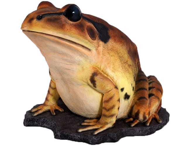 Giant Great Barred Frog On Rock