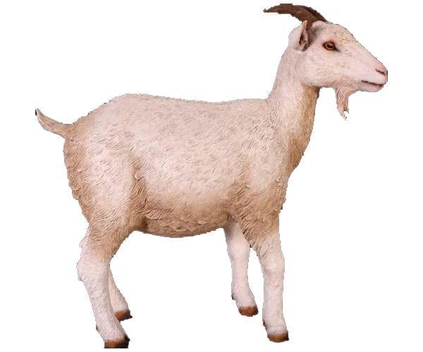 Goat Cream C