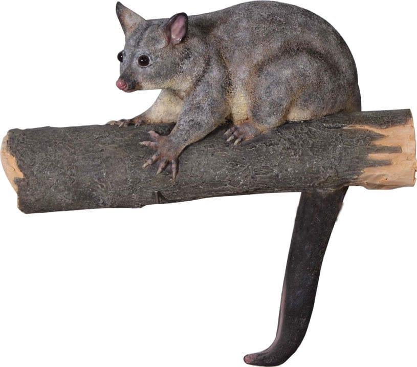 Possum Brush Tailed
