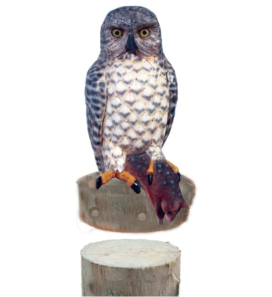 Powerful Owl With Quoll On Post