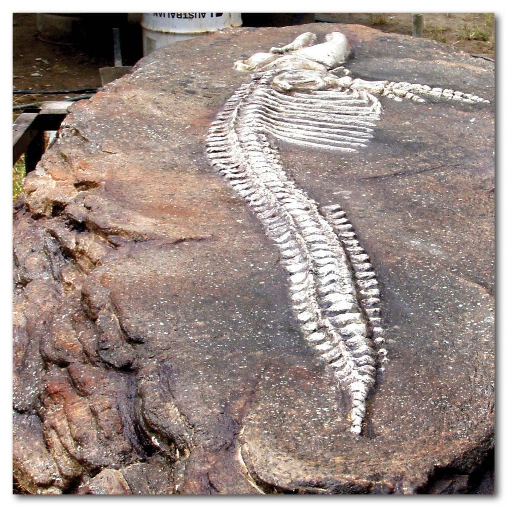 Prehistoric Dinosaur Fossil Digs Australian dolphin fossil dig Product Image  px px