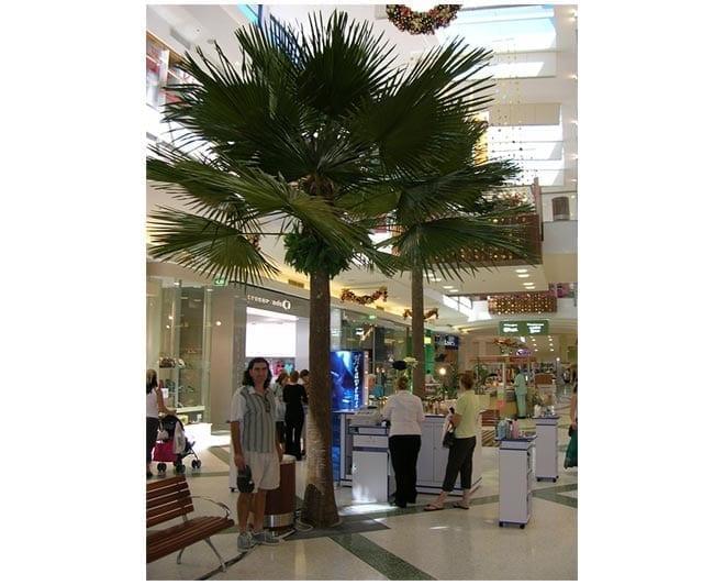 Royal Fan Palm In Situ