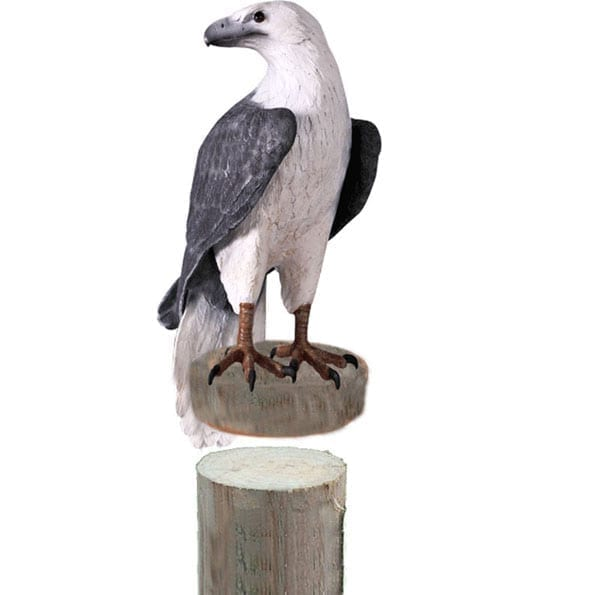 White Breasted Sea Eagle On Post