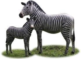 Zebra  Foal Standing Together