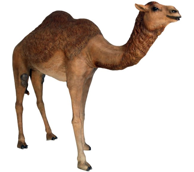 dromedary Adult camel for sale
