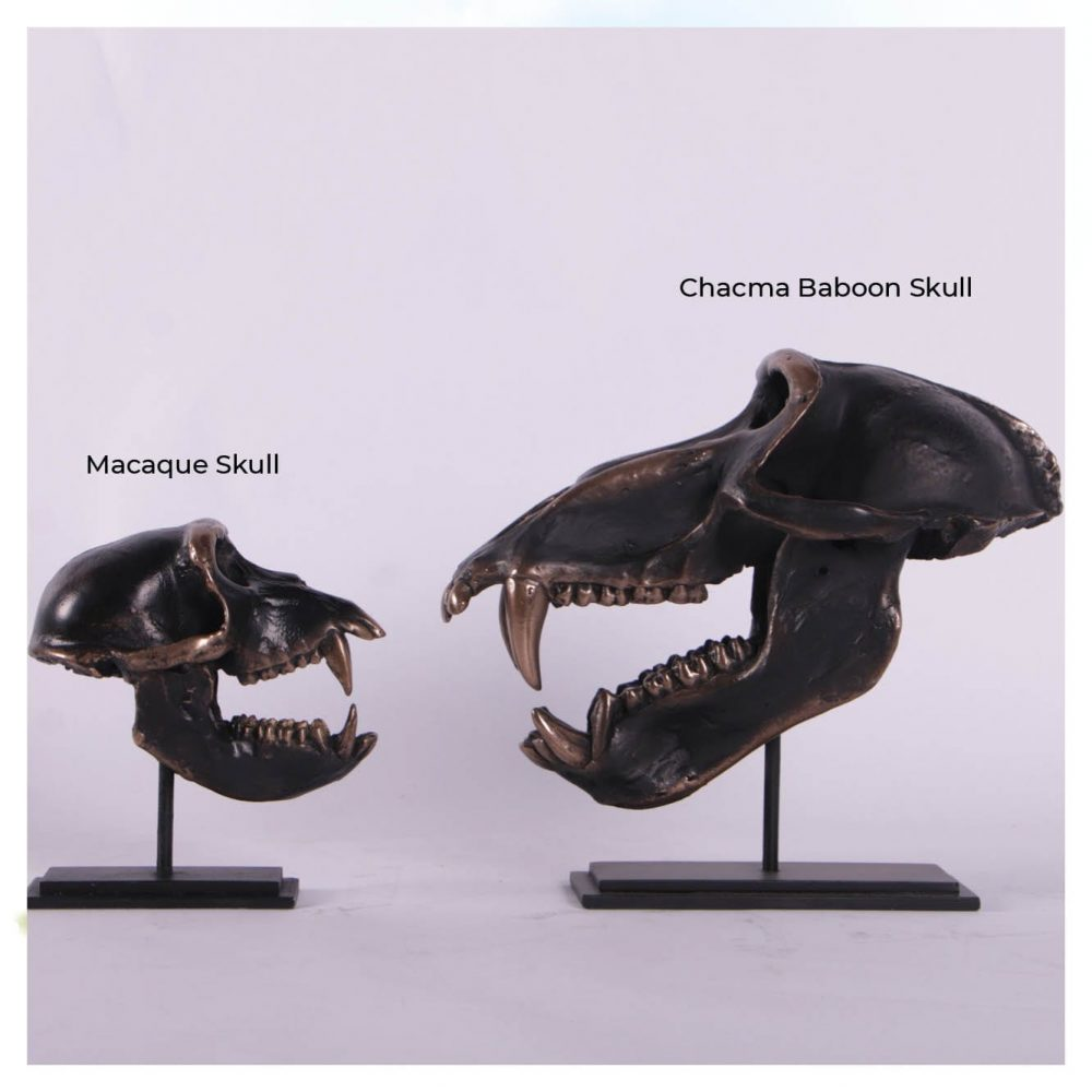 Dinosaur Prehistoric Prehistoric Fossils bones Chacma Baboon Skull on base Comparison Product Gallery  px px
