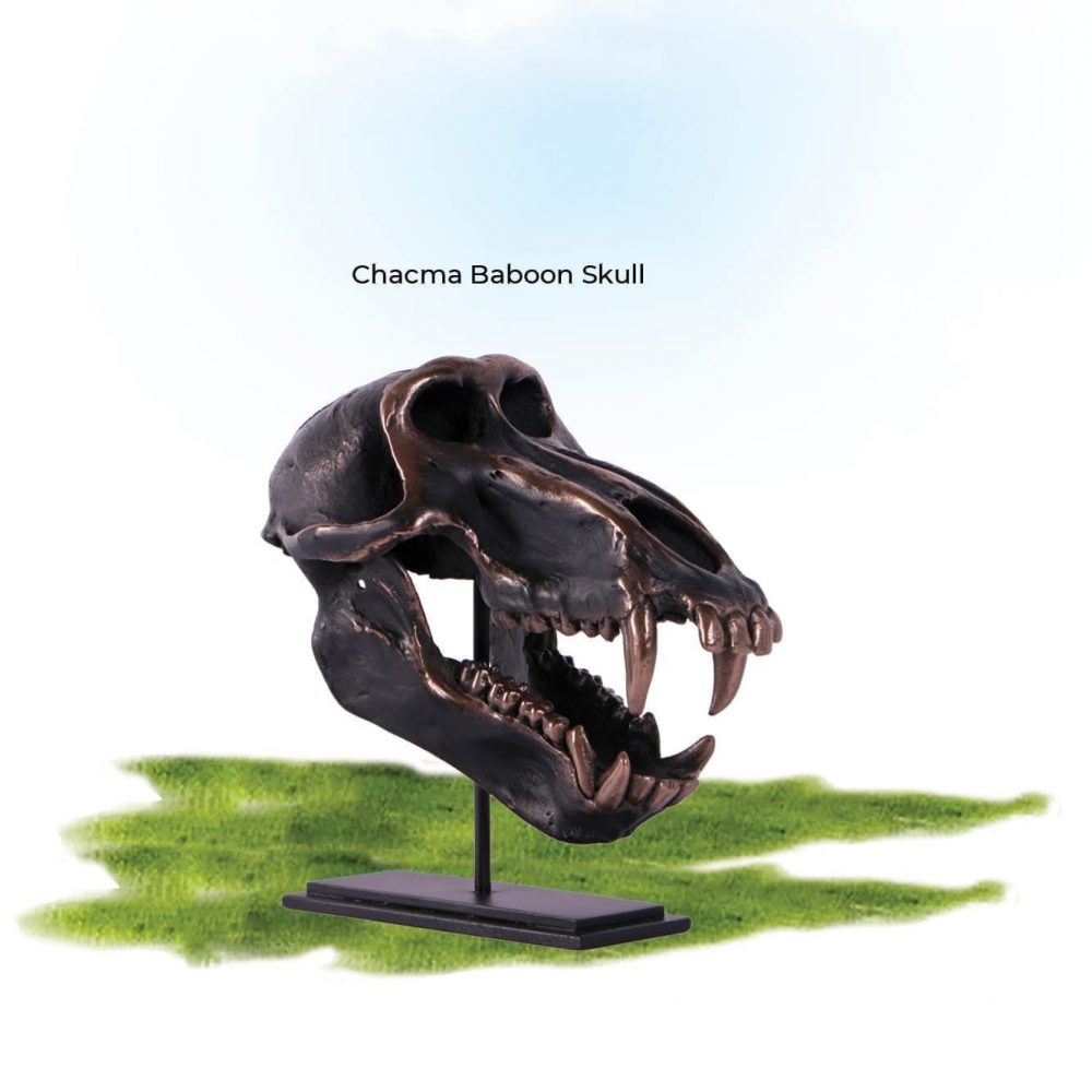 Dinosaur Prehistoric Prehistoric Fossils bones Chacma Baboon Skull on base Product Gallery  px px