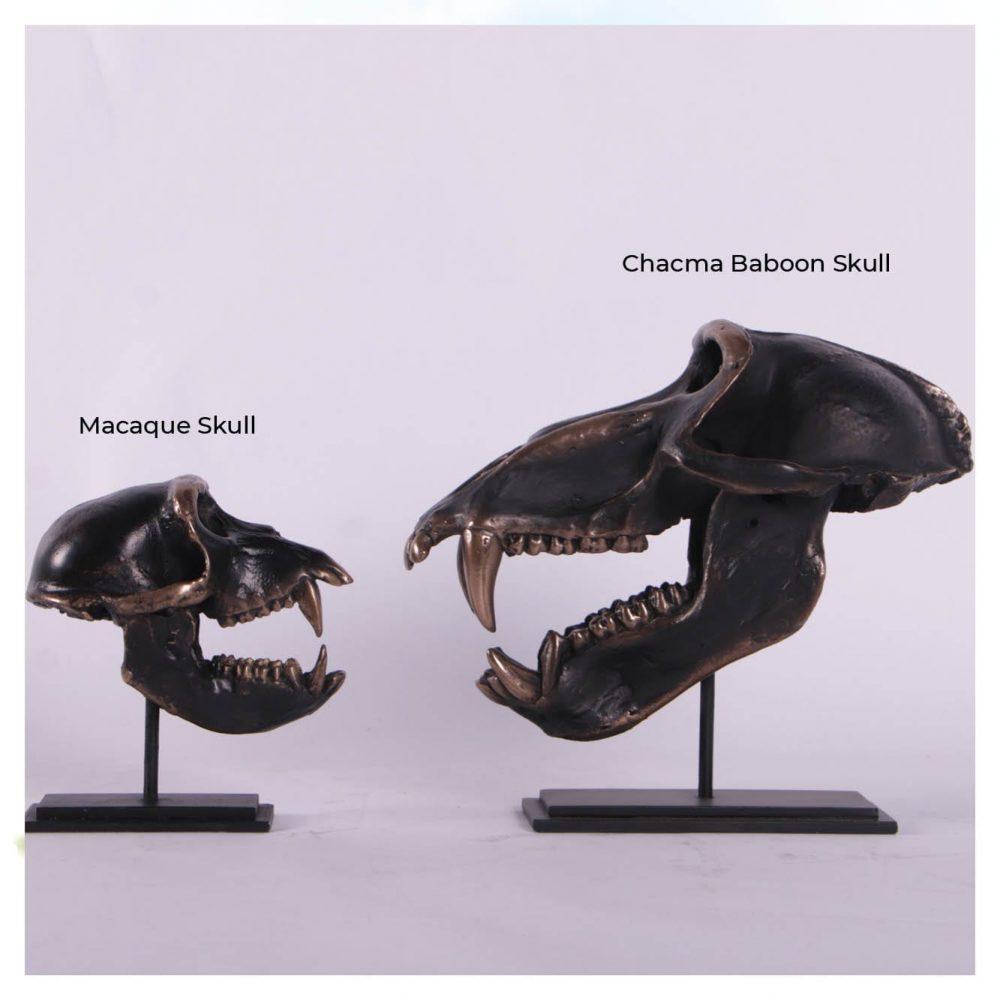 Dinosaur Prehistoric Prehistoric Fossils bones Macaque Skull on base comparison Product Gallery  px px