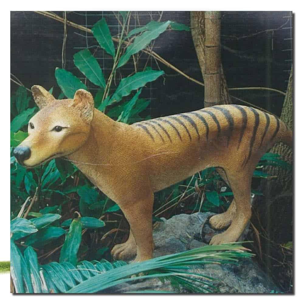 Thylacine - Tasmanian Tiger in Display - Gondwana Rainforest Santuary