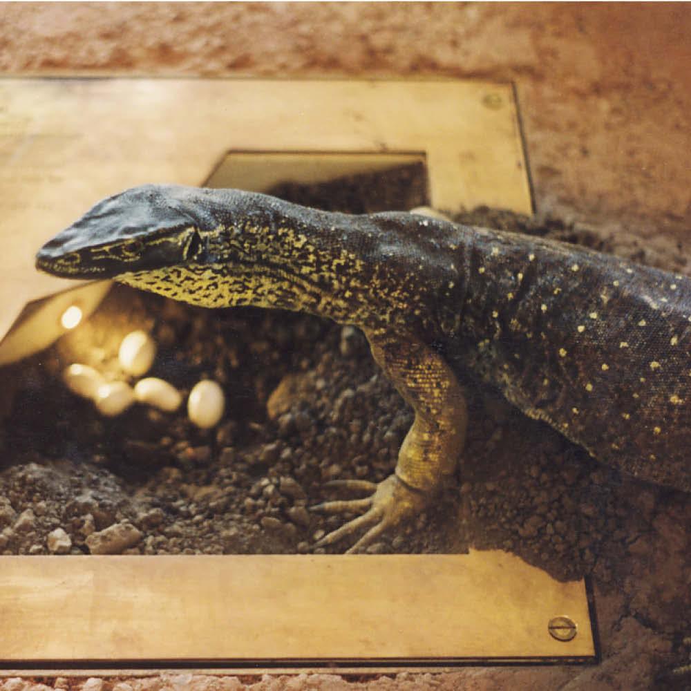 Goanna - Gould's Sand Goanna - Life-size replica (Bungarra