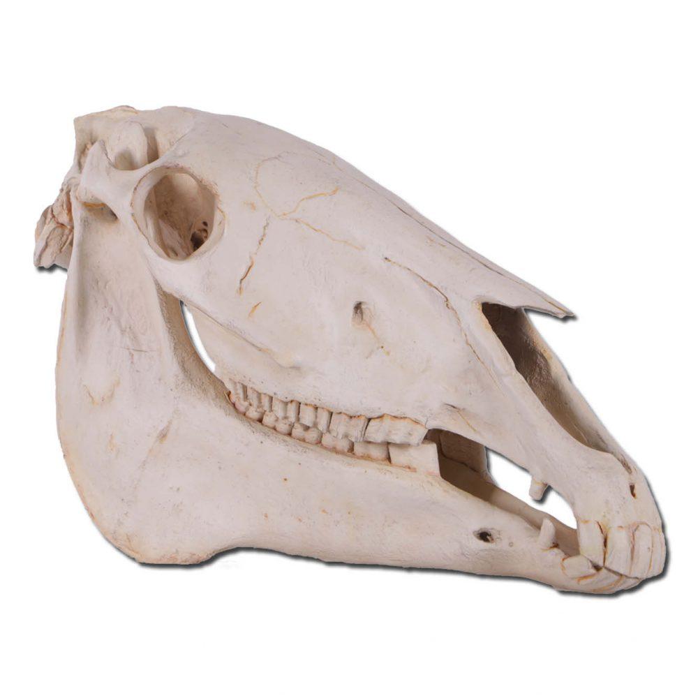 Horse Skull replica - life-size statue