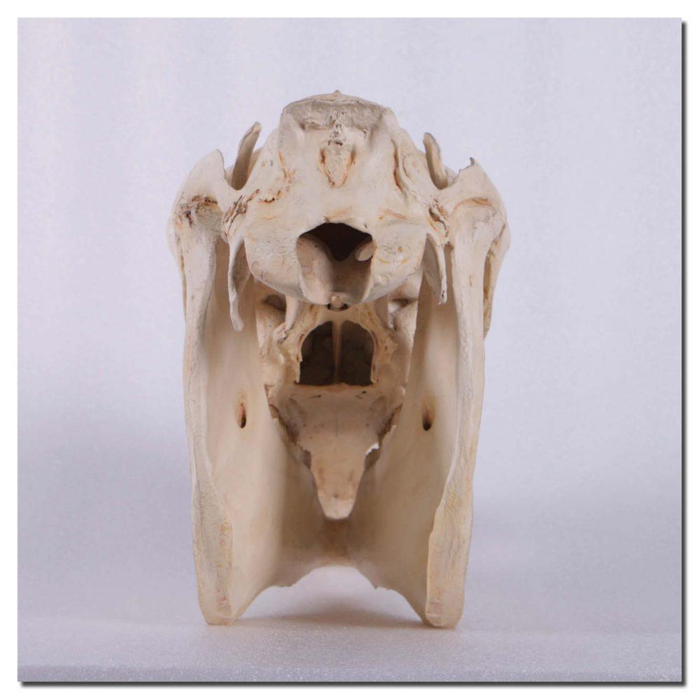 Horse Skull replica - life-size